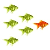 8469849-standing-out-of-the-crowd-concept-with-individual-successful-goldfish